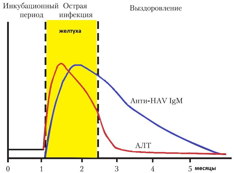 Анализ на anti-HAV-IgG и anti-HAV-IgM положительный – в каких случаях это возможно?
