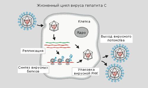 Народные средства лечения жирового гепатоза печени