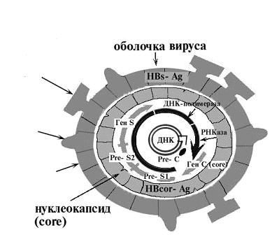 Структура антигена вируса гепатита В (HBsA)