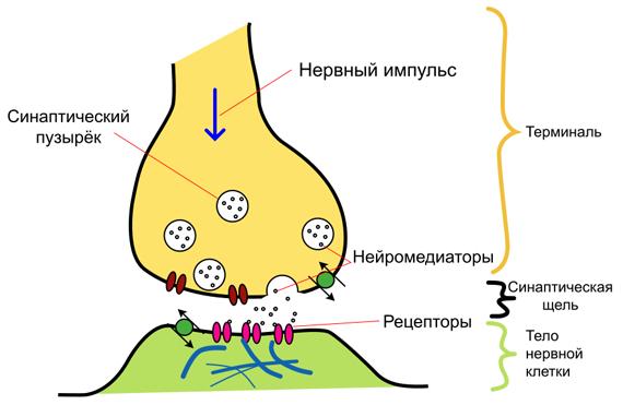 Нейромедиаторы