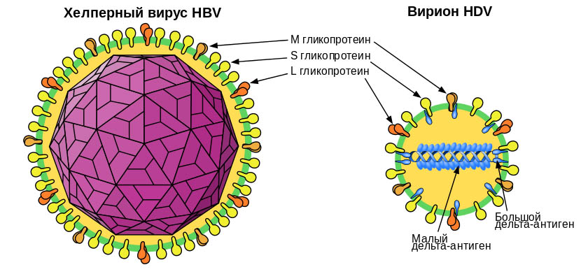 Строение вирионов вирусов гепатита B и дельта