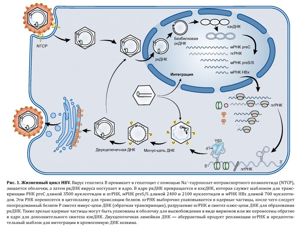 Репликация вируса гепатита B