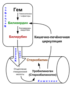 Схема метаболизма билирубина