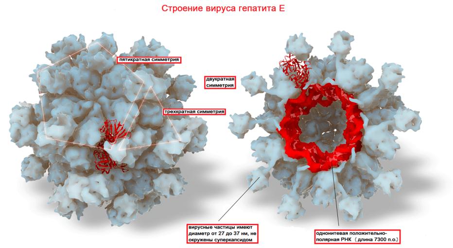 Строение вируса гепатит Е