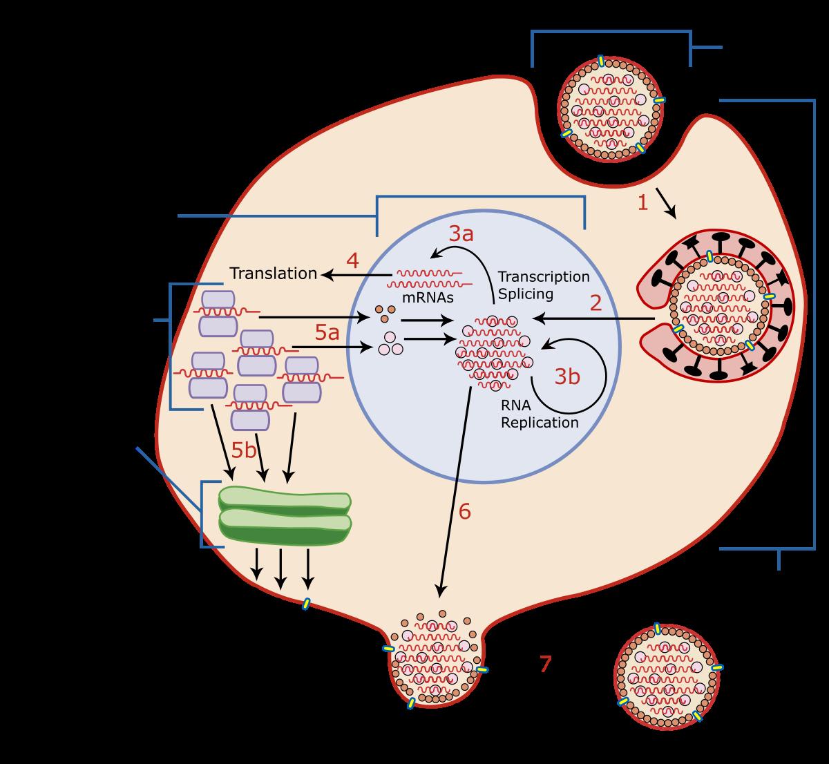 Период репликации вируса