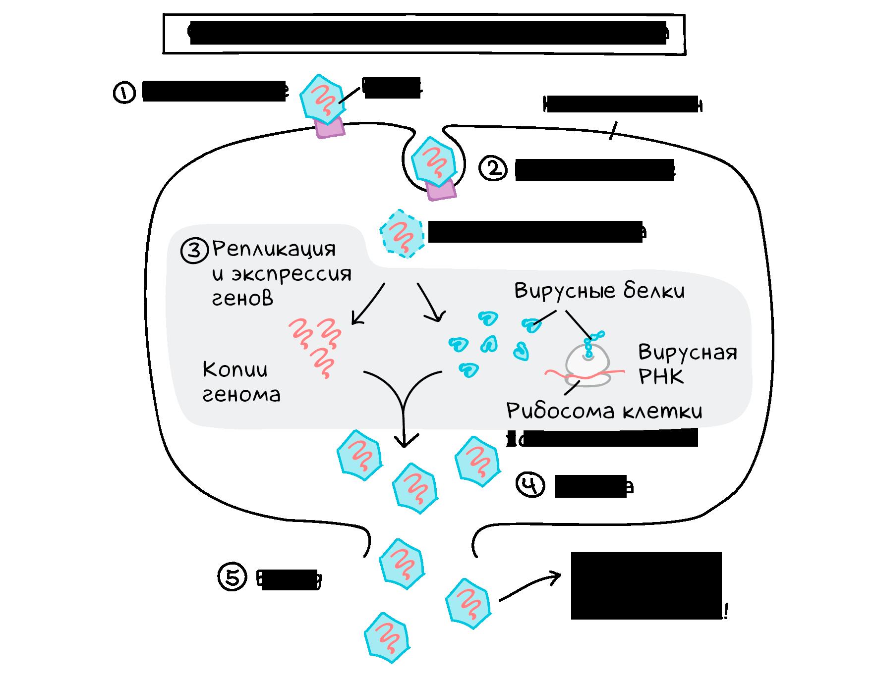 Жизненный цикл вируса